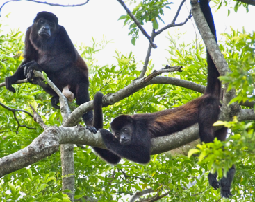 Howler monkeys hangin out